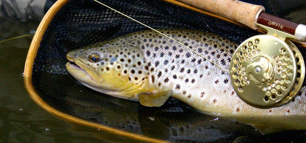 utah-brown-trout3