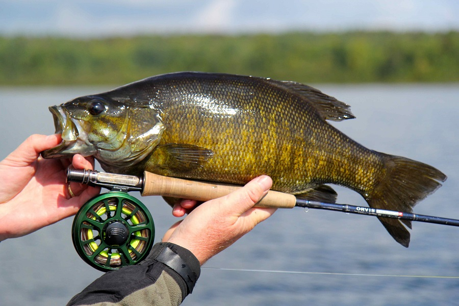 The smallmouth bass in algoma are big aggressive and for Smallmouth bass fly fishing